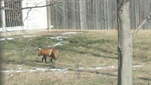 A red fox taking a sunbath in our back yards yesterday. Goes to shwo we are living in her space
