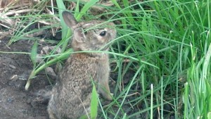 Baby bunny in our back yard.