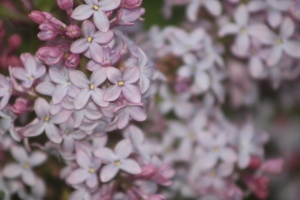 old fashioned lilac