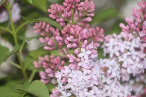 lilac at first bloom