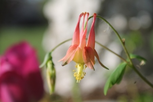 Old fashioned columbine. I love this flower...wish it bloomed all year!