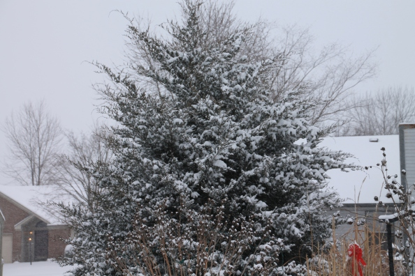 This is a giant Juniper tree in our back year. It loves to be decorated for the winter in white.