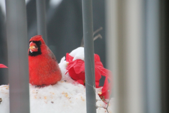 Cardinal out my back door last month.
