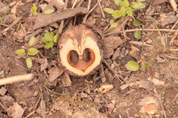 Half a walnut which looks like a heart face owl. Nature always reflects itself everywhere.