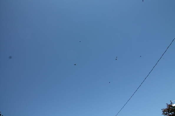 A sky full of martins.